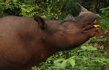 WWF will use the Australian donation to restore Sumatran rhino numbers