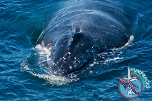 Humpback whale - used with permission of Humpbacks and Highrises