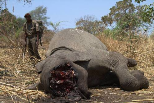 Elephant poached in Mozambique. Copied  from EIA Facebook page