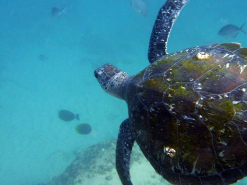 Green sea turtle in Gold Coast seaway. Photo by Shona Pinkerton