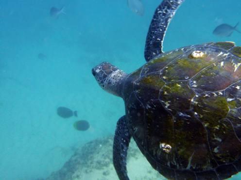 Green sea turtle in Gold Coast seaway. Photo by Shona Pinkerton