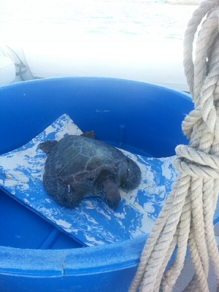 Twiggy the turtle on his way to a successful release in the Seaworld boat.