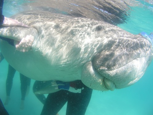 This dugong from the Moreton Bay herd has been captured for a few minutes to collect valuable data to aid in dugong conservation. Photo supplied by Janet Lanyon