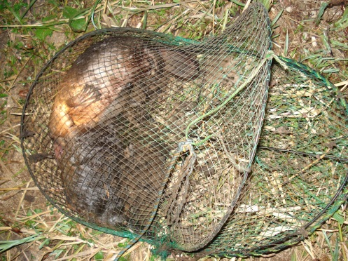 Platypus killed in Opera House Traps (2)