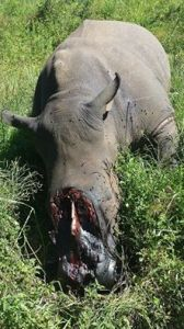 One of the rhino carcasses found after the first attack. Rhino owner Elvin Krull says the poachers used an axe to remove the horns. Photo by Div De Villiers used with permission