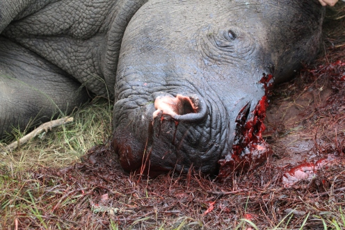 In March 2012, this rhino was attacked by a group of poachers during the night. They were armed with dart guns and machetes. She and two bull rhinos were found drugged and faces butchered in the morning.