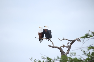 Beside the banks of the Oliphants River in Kruger National Park this pair of African Fish Eagles. They were perched in a tree beside the bridge so I had a fairly level view.