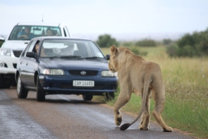 Lions are big. This young male is sitting on the road completely ignoring the cars and the humans who were going into a photographic frenzy. He's actually hunting with two others