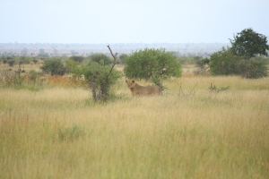 The lion was intent on hunting. I was observing from the road with about 10 other cars.