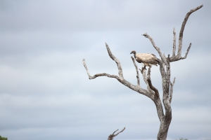 The textures in the plumage of this White Backed Vulture seem to blend perfectly with the textures in the branches of this dead tree.