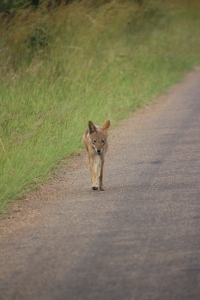 The black backed jackal walked for a kilomete along the road, sniffing and marking territory