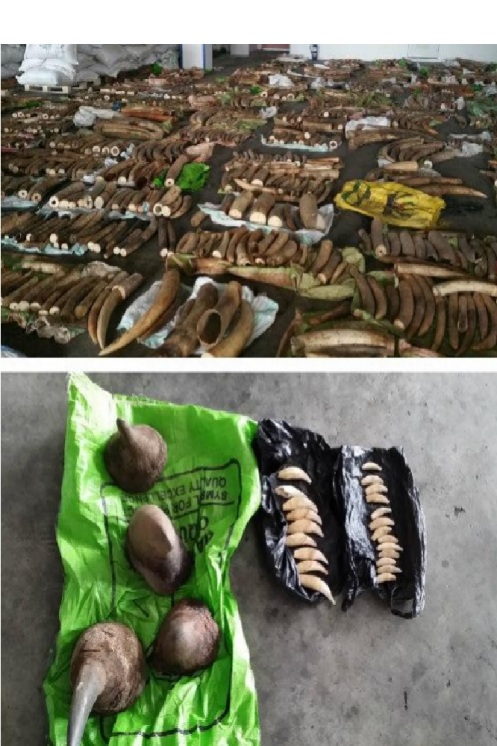 3.7 tonnes of ivory and 4 rhino horns discovered in a container of tea leaves in Singapore on its way from Kenya to Vietnam