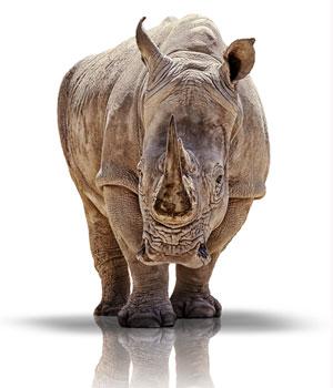 white-rhino-cutout